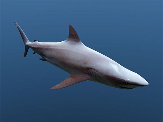 Cinema 4D Shark 3D Model
