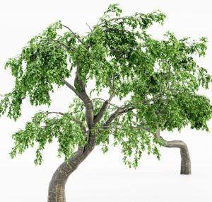 5 Cherry Tree 3D Models