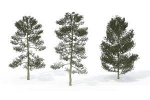 Bishop Pine Tree 3D Model