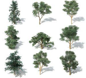 Bluegum Tree 3D Model