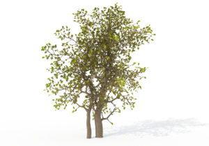Carissa Tree 3D Model