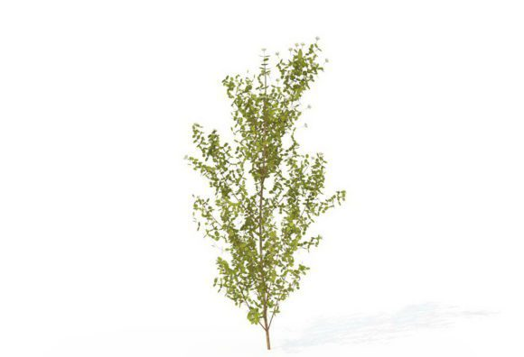 Common Dogwood Tree 3D Model