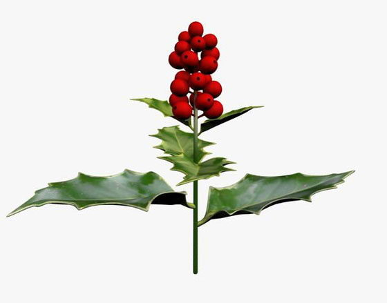English Holly Flower 3D Model