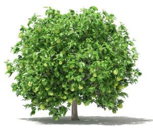 Fruit Tree Free 3D Model