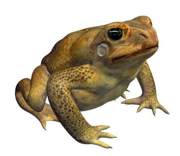 Free 3D Cane Toad Frog
