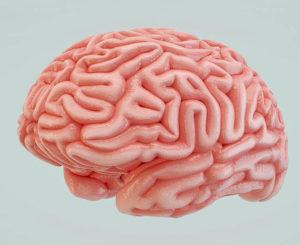 Free 3D Human Brain Model