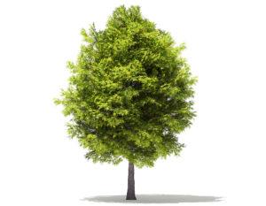Free 3D Japanese Maple Tree
