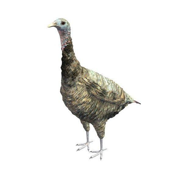 Free 3D Wild Turkey Model