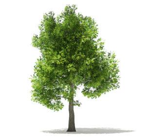 Free Oak Tree 3D Model