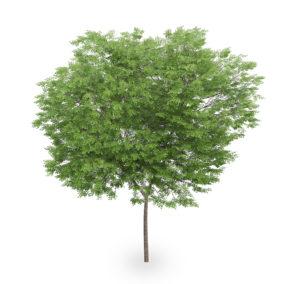 Free Realistic 3D Tree Model
