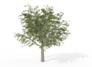 Hackberry Tree 3D Model