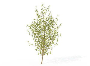 Medium Common Dogwood 3D Model