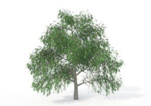 Pecan Tree 3D Model