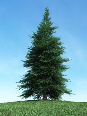 Pinaceae Tree 3D Model