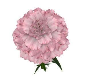 Pink Carnation Flower 3D Model
