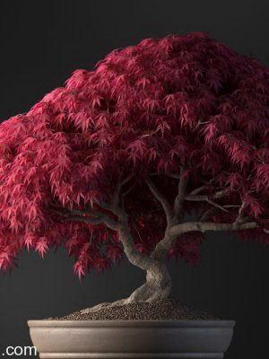 Red Bonsai 3D Model