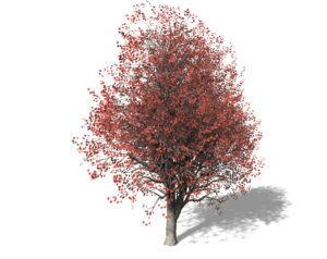 Red Maple Tree 3D Model