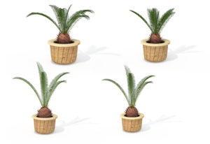 Sago Palm Tree 3D Model