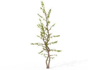 Sapling Carissa Tree 3D Model