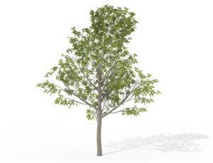 Sapling Hackberry Tree 3D Model