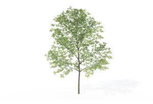 Sapling Sweet Birch Tree 3D Model