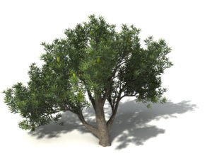 Saw Banksia Tree 3D Model