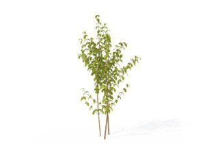 Small Common Dogwood 3D Model