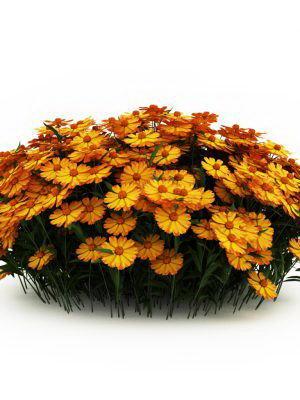 Yellow Camomiles Garden Plant