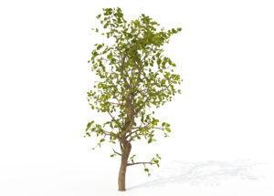 Young Carissa Tree 3D Model