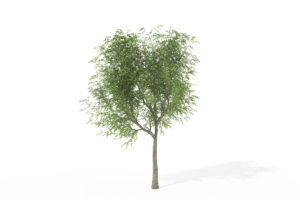 Young Japanese Walnut Tree 3D Model