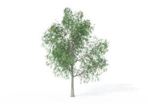 Young Pecan Tree 3D Model