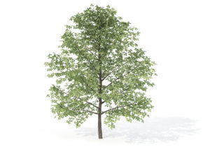 Young Sweet Birch Tree 3D Model